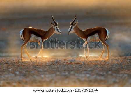 Springbok antelope, Antidorcas marsupialis, in the African dry habitat, Etocha NP, Namibia. Two mammal from Africa. Springbok in evening back light. Sunset on safari in Namibia. Fight of deer, nature.