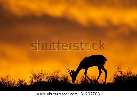 Springbok antelope (Antidorcas marsupialis) silhouetted against a red sky, Kalahari desert, South Africa