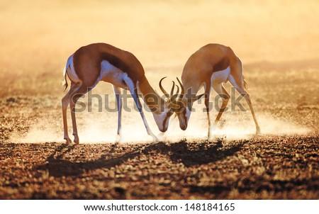 springbok dual in dust  ...
