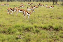 Springbok in a beautiful grassy field with yellow flowers