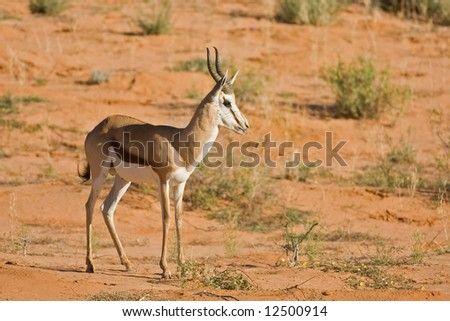 Springbok standing in the Kalahari desert; Antidorcas marsupialis; Kalahari; South Africa