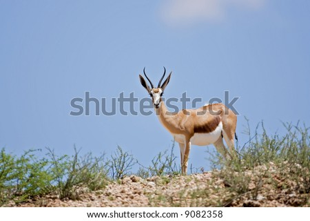 Springbok standing on top of a rocky hill; Antidorcas marsupialis; South Africa