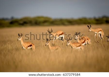 Springboks pronking in the Central Kalahari Game Reserve, Botswana.
