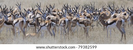 springbuck (Antidorcas marsupialis) in the kgalagadi trans-frontier park in south africa