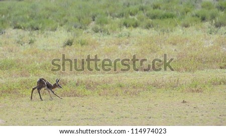 Springbuck (Antidorcus marsupialis). A just born lamb takes its first steps