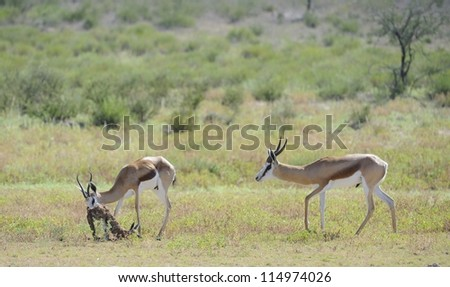 Springbuck (Antidorcus marsupialis). A ram inspects a ewe that has just given birth to her lamb