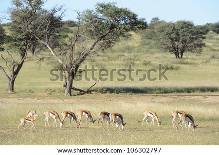 Springbuck (Antidorcus marsupialis) graze on grasses in the Nossob, a dry riverbed in the Kgalagadi transfrontier park