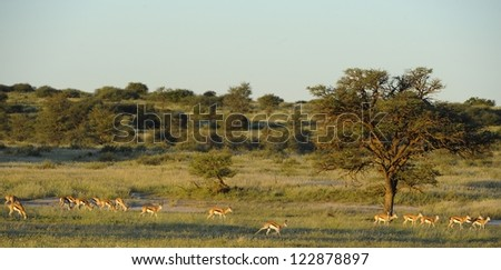 Springbuck (Antidorcus marsupialis) lit by setting sun the Auoob riverbed, Kgalagadi transfrontier park,northern cape,south africa. The Auoob is a fossil river that flows about once per 100 years