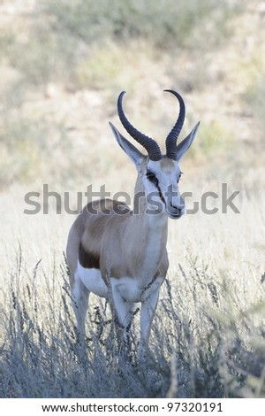 Springbuck  (Antidorcus marsupialis) ram in the Kgalagadi transfrontier park,northern cape,south africa