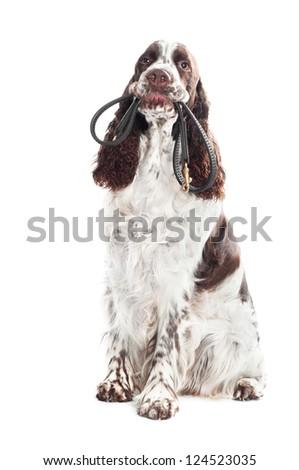 springer spaniel dog holding a leash