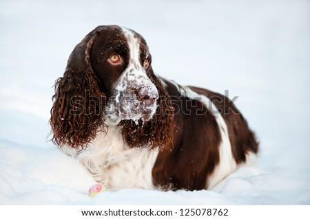 springer spaniel dog lying in the snow