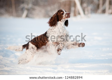 springer spaniel dog running and jumping outdoors
