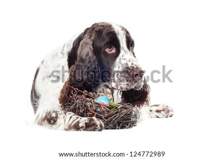 springer spaniel dog with easter eggs