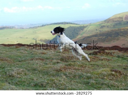 Springer spaniel leaping through the air in full flight in the countryside