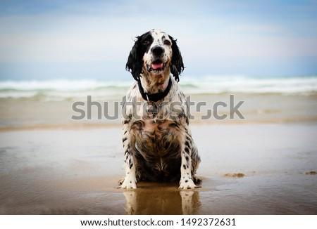 Springer Spaniel on the beach #1492372631