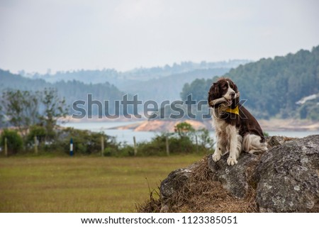 springer spaniel playing in the field #1123385051