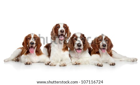 Springer Spaniels dogs posing on a white background