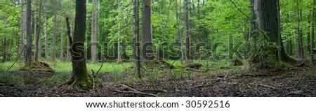 Springtime alder-bog forest with standing water - stock photo