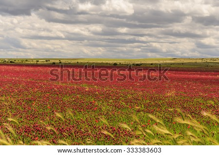 SPRINGTIME. Alta Murgia National Park: field of purple flowers. Apulia-ITALY-It is a limestone plateau,with wide fields and rocky outcrops,grassland characterized by sheep