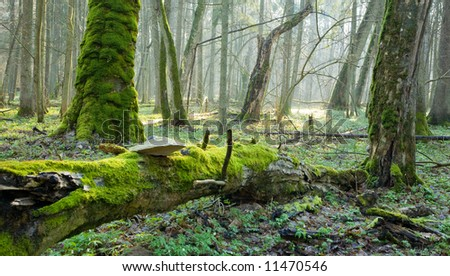 Springtime at old natural forest with dead tree trunk lying in foreground