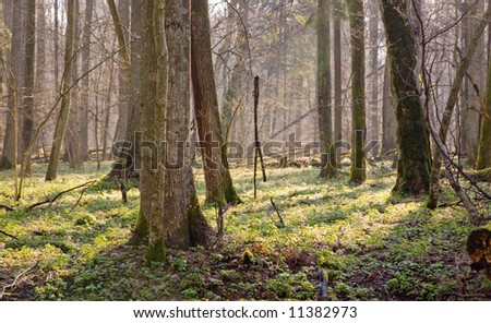 Springtime at old natural forest with fresh floral bed of anemone flower.