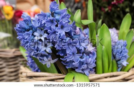 Springtime. Beautiful blue hyacinth flowers in a wicker basket for sale in a flower garden shop.