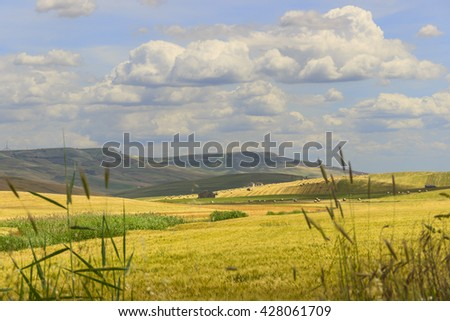 SPRINGTIME.Between Apulia and Basilicata.Hilly landscape with corn field immature, dominated by clouds.ITALY. In the background a farm,hay bales and a tractor. #428061709