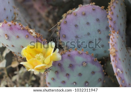 Springtime bloom on a prickly pear cactus