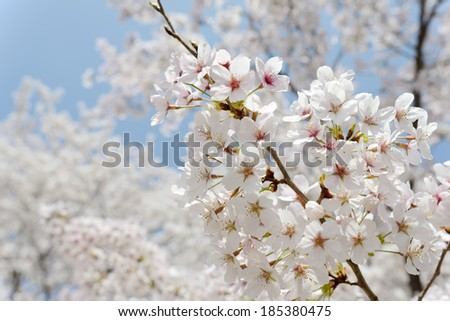 springtime blooming branch of cherry tree on the blue sky
