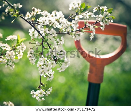 Springtime. Blooming cherry branch and shovel