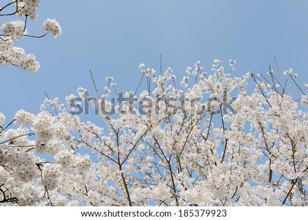 springtime blooming cherry tree on the clear blue sky
