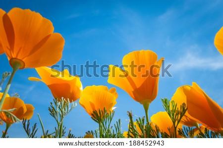 Springtime blooms of California Golden Poppies.