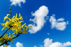 Springtime blossom on a tree against a blue sky white clouds.