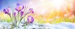 Springtime - Crocus Flower Growth In The Snow With Sunbeam