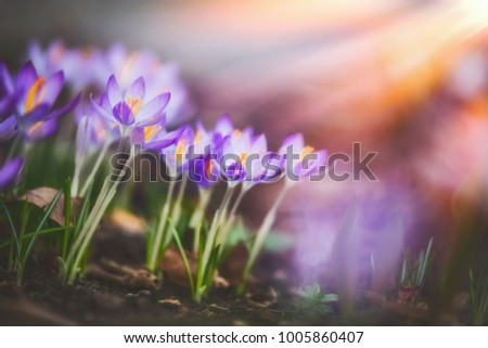 Springtime crocuses at sunbeam, springtime outdoor nature