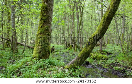 Springtime deciduous stand of Bialowieza Forest Landscape Reserve with two old trees in foreground