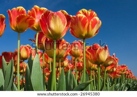 Springtime, field of tulips looking towards the sky - stock photo
