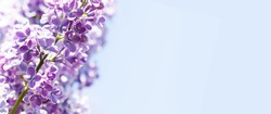 Springtime holidays greeting card template. Common lilac blooming purple flowers on blue sky background. Copy space