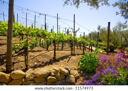 Springtime in a hillside vineyard in the Carneros region of the Napa Valley