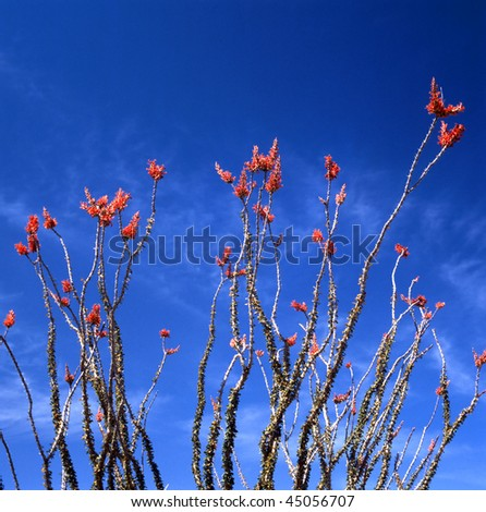 Springtime in the Sonoran Desert. The Ocotillo is the strangest looking plant of the desert. Not a cactus but usually referred to as one.