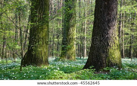 Springtime mixed stand with old trees and anemone flowers floral bed under