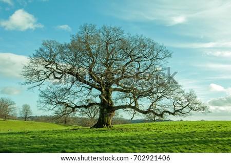 Springtime oak tree in a field in the British countryside. - Shutterstock ID 702921406