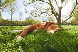 Springtime on the garden. Cute dog (Nova Scotia Duck Tolling Retriever) resting under tree on the garden during sunset.
