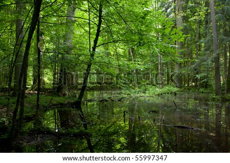 Springtime shady wet deciduous forest with standing water and dead trees partly declined lying in water