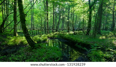 Springtime sunrise in wet deciduous stand of Bialowieza Forest with standing water - stock photo