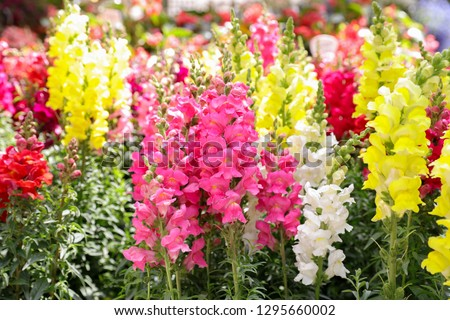 Springtime variety of beautiful Antirrhinum majus or Snapdragon flowers in pink, red, white and yellow colors in the greek garden shop.