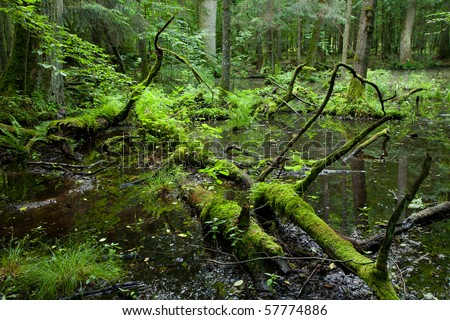 Springtime wet deciduous stand forest with standing water and dead trees partly declined