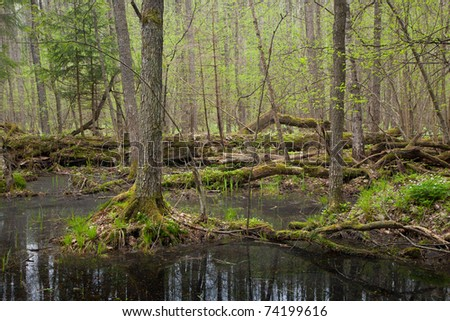 Springtime wet mixed forest with standing water and dead trees partly declined