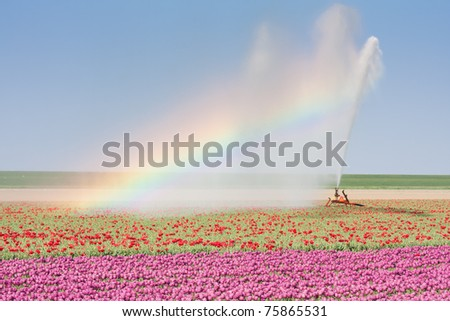 Sprinkler installation in a Dutch tulip field with a beautiful Rainbow