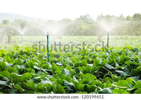 sprinkler irrigation in cauliflower field